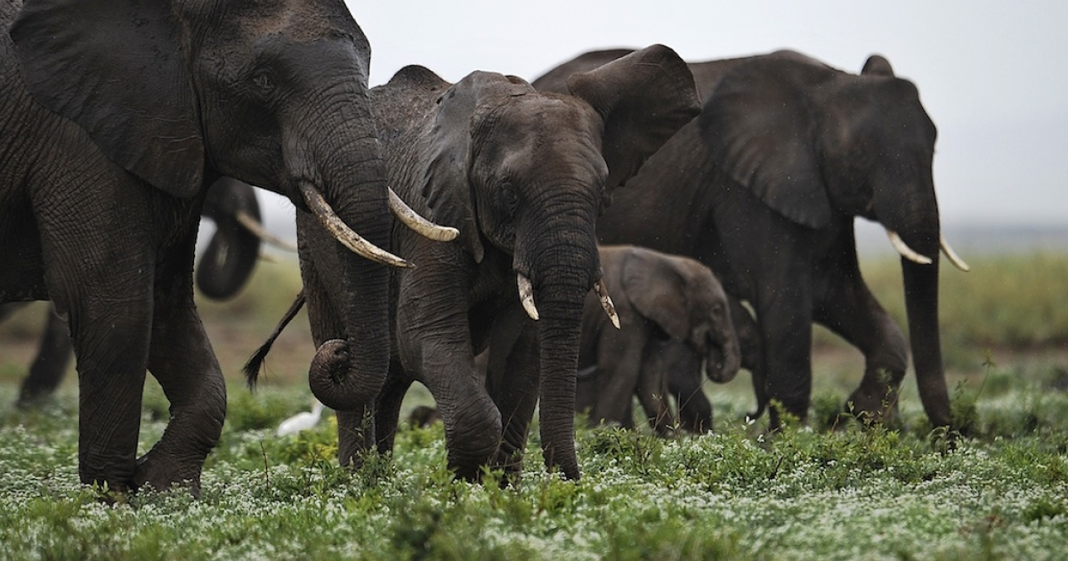 Elephants at the Amboseli game reserve, south of Kenyan capital Nairobi on Dec. 30, 2012.</p>