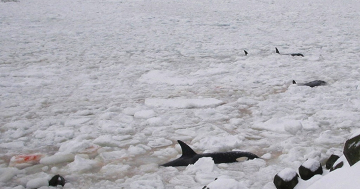 iller whales are trapped in floating ice off the town of Rausu on Shiretoko Peninsula facing the Nemuro Strait, some 1,050 kilometres (650 miles) northeast of Tokyo, in February 2005. Eleven killer whales were declared dead and one female whale, though seriously hurt, broke through the ice and returned to the Pacific.</p>