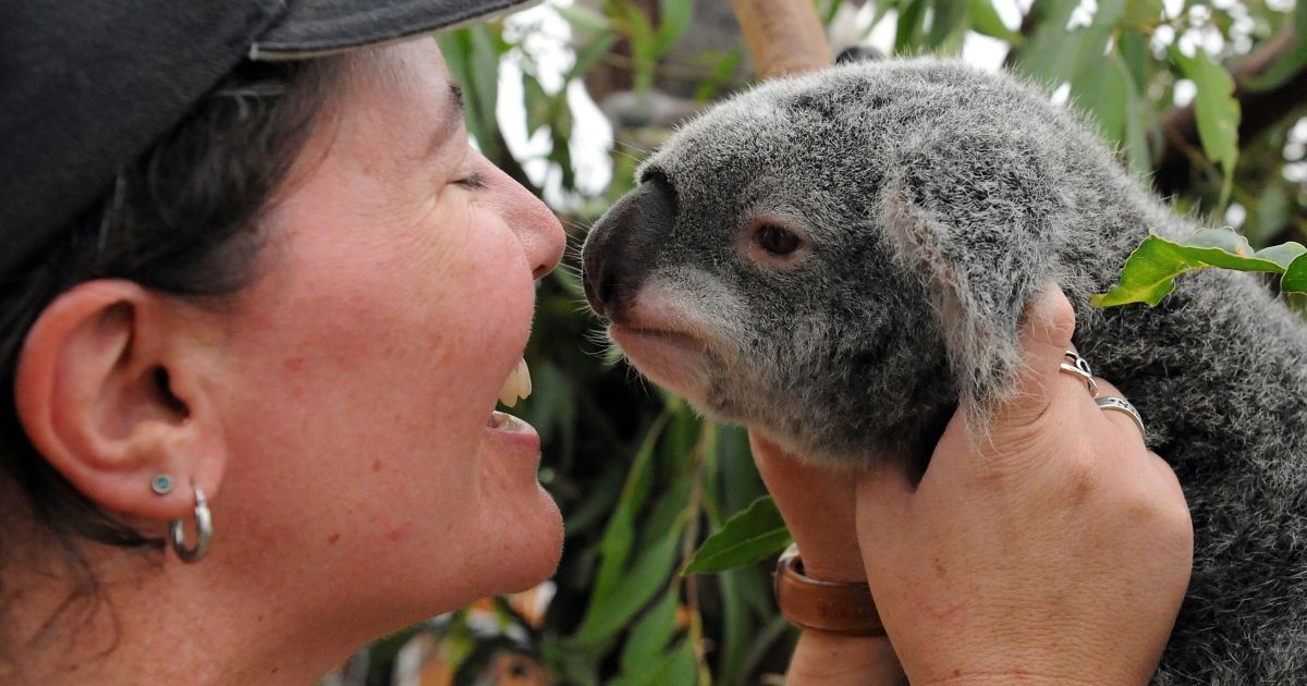 Senior keeper Karen Nilsson calms a stressed koala which was displaced by the flood waters in an emergency shelter at the Lone Pine Koala Sanctuary in Brisbane on January 15, 2011.</p>