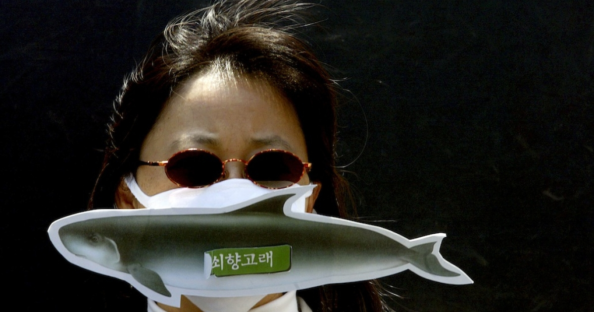 A South Korean activist protests against Japan's whaling fleet killing minke whales. Japanese whalers allegedly killed a minke whale in Australian-controlled Antarctic waters on Feb 15th, drawing the ire of the Sea Shepherd group of activists.</p>