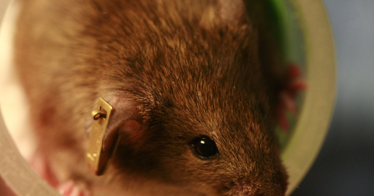 Scientists in Spain have successfully extended the lifespan of lab mice using gene therapy.</p>