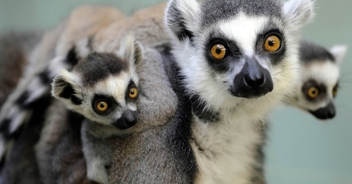 Two ring-tailed lemur babies sit on their mother's back at the zoo in Frankfurt, Germany, on Mar. 30, 2010.</p>