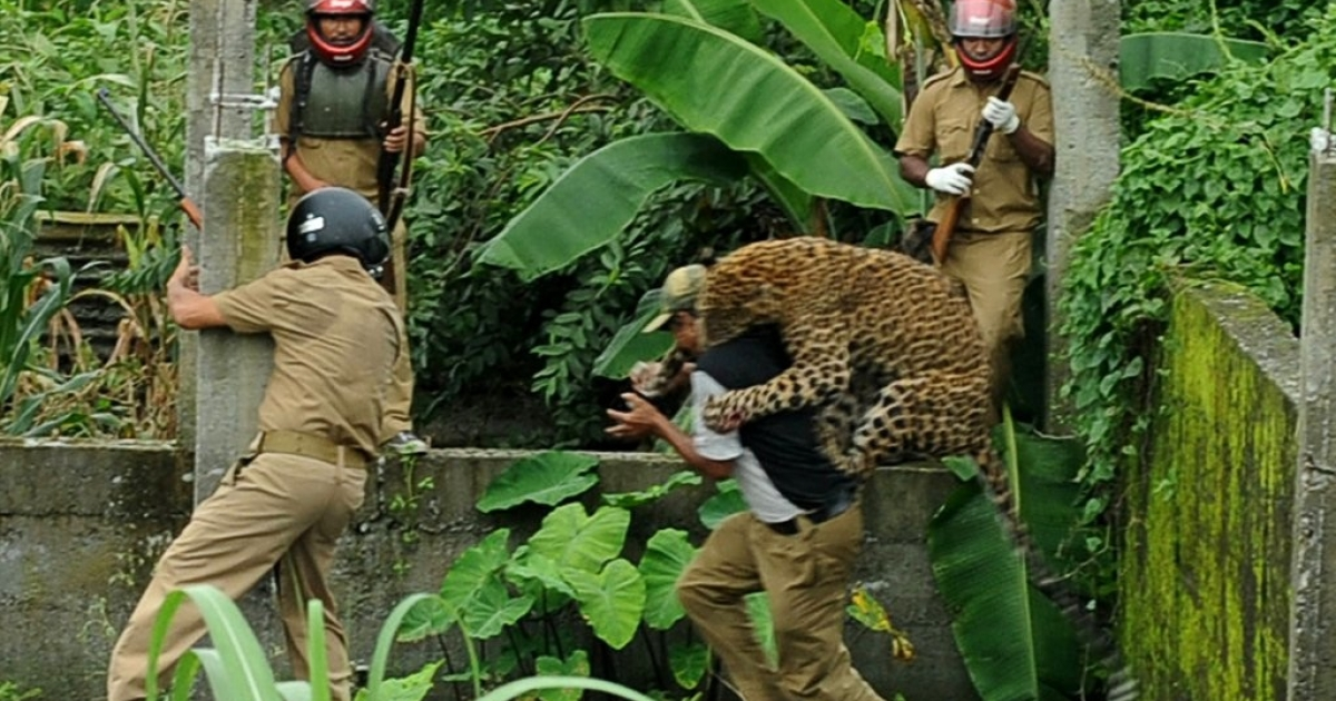 A leopard attacks a forest guard at Prakash Nagar on the outskirts of Siliguri in West Bengal, India on July 19, 2011. Forest officials made several attempts to tranquilize the full-grown leopard after it attacked six villagers.</p>