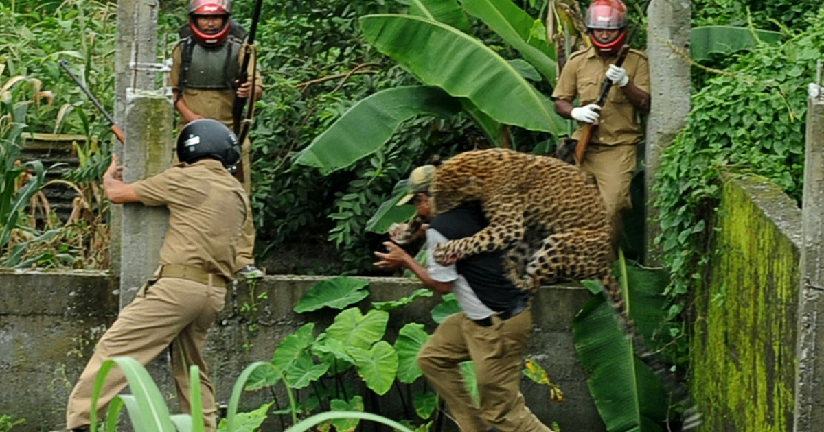 A leopard attacks a forest guard at Prakash Nagar village near Salugara on the outskirts of Siliguri on July 19, 2011. Six people were mauled by the leopard after the feline strayed into the village area before it was caught by forestry department officials. Forest officials made several attempt to tranquilise the full grown leopard that was wandering through a part of the densely populated city when curious crowds startled the animal, a wildlife official said.</p>