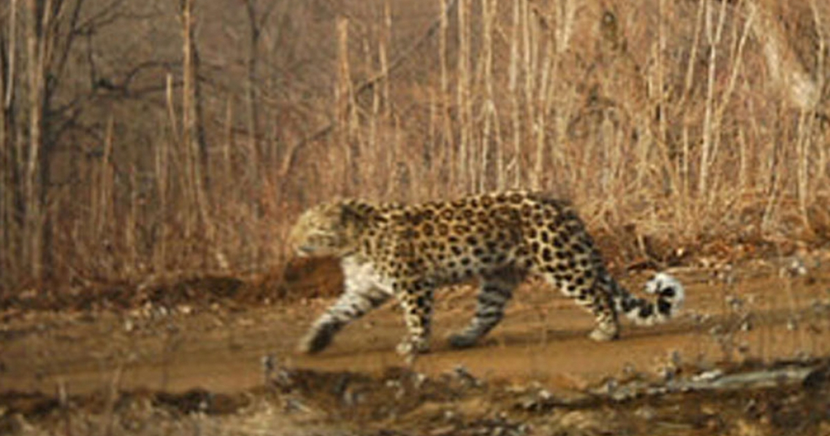 A rare Amur leopard was photographed at the Hunchun Amur Tiger National Nature Reserve in northern China.</p>