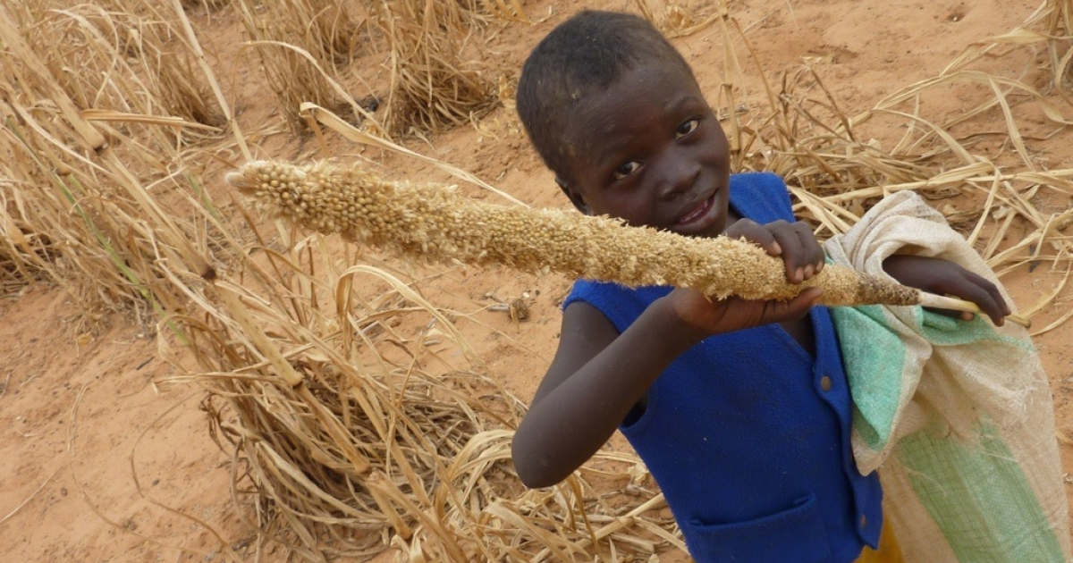 A young boy from Niger holds a millet cob eaten by locusts. The Food and Agriculture Organization warns that Mali and Niger, already coping with severe food shortages, are threatened by an influx of locusts from Libya.</p>