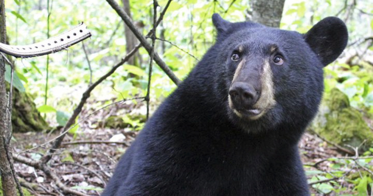 Hope the black bear from Ely, Minnesota checks out her radio collar, seen at left. Researchers say that Hope, made famous when her birth was broadcast on the Internet, has been killed by a hunter.</p>