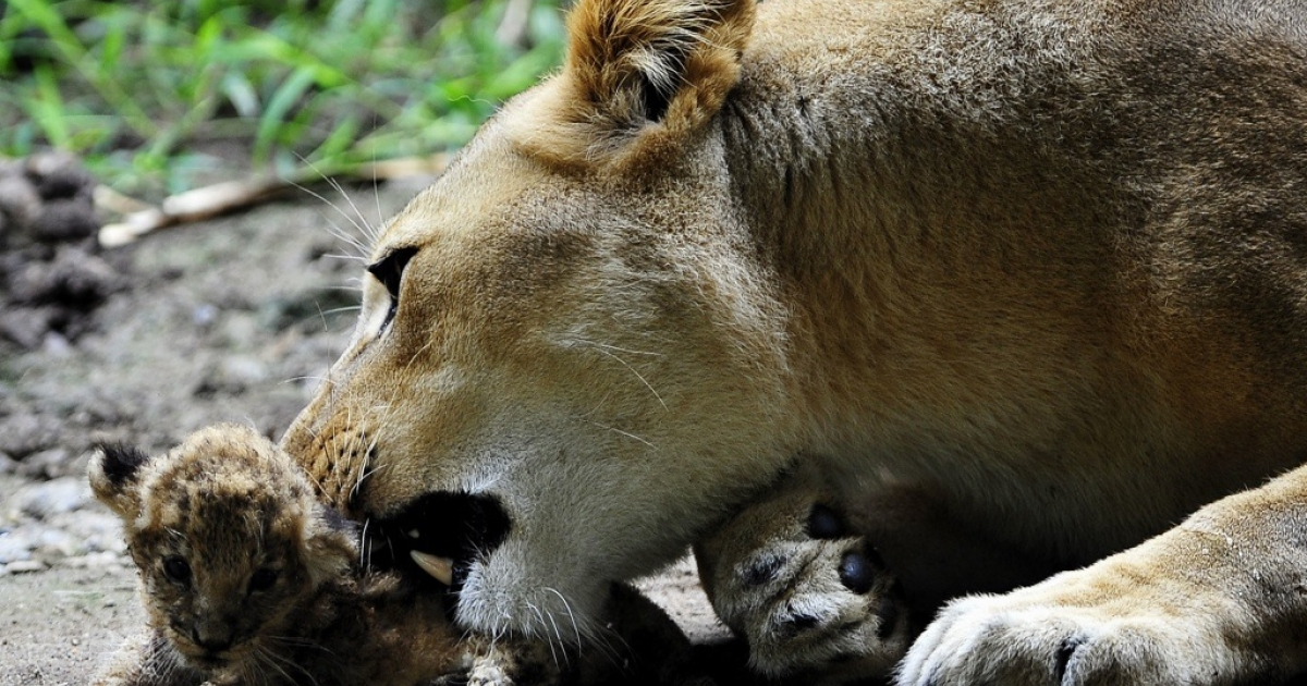 A lioness in Kenya rescued a little cub from a cliff. Here a lioness grooms her cub.</p>