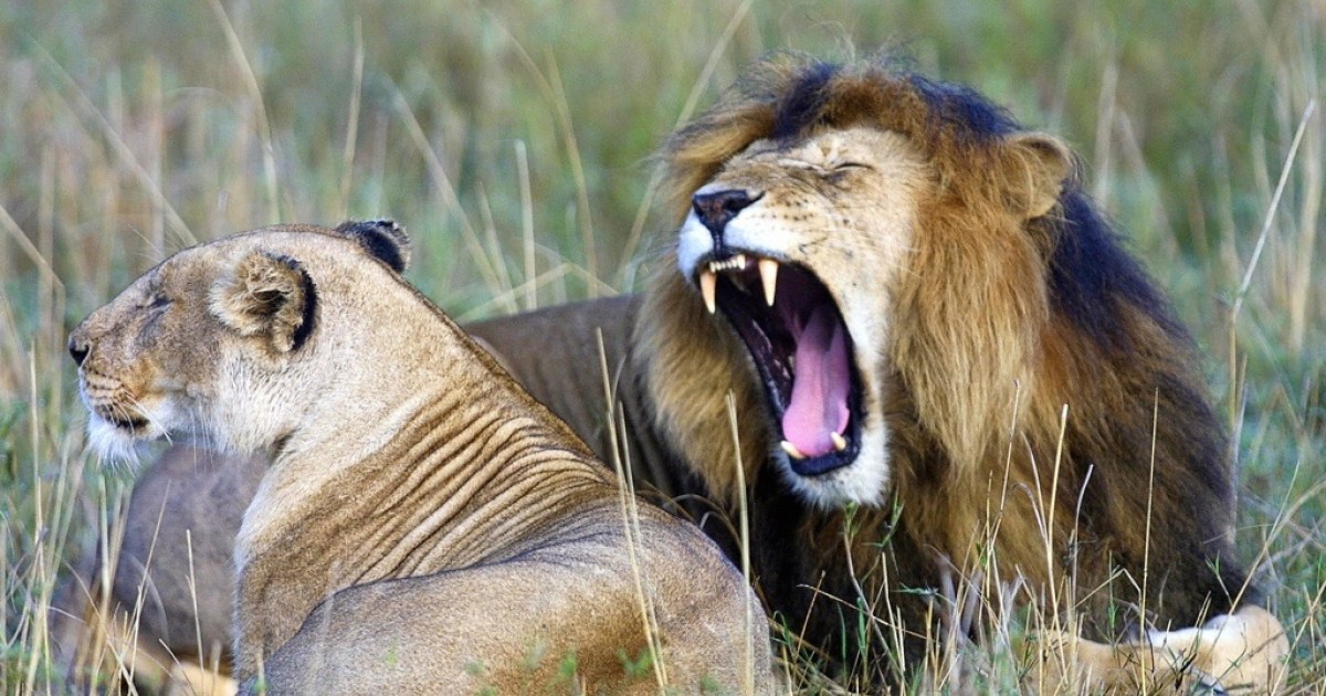 An lion yawns next to a lioness in kenya's Maasai Mara National Park, approximately 200 miles southwest of Nairobi.</p>