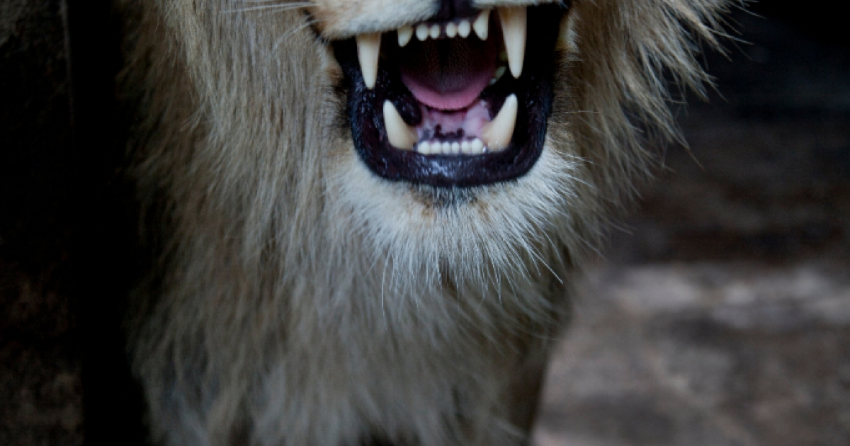 Not a beast you'd like to meet on the street: British citizens in Essex are told to stay indoors following reports of a lion sighting late Sunday night. Here, an African lion is seen in his new dwelling at Managua's Zoo on July 13, 2012.</p>