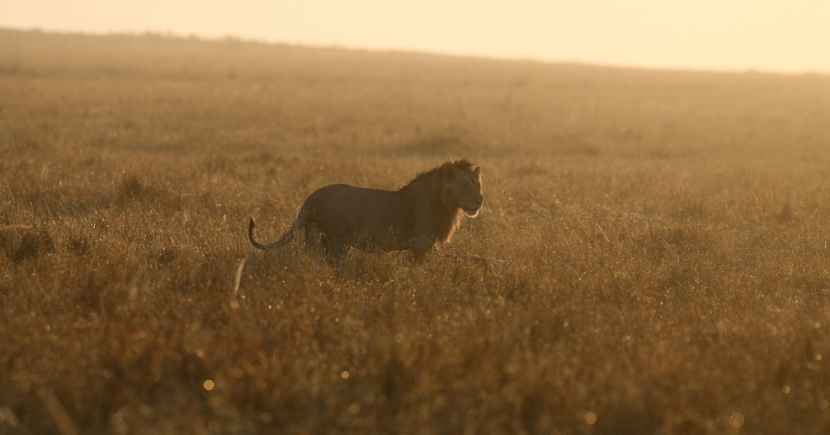 A new study found that lions are most dangerous to humans when the moon is faint or below the horizon.</p>