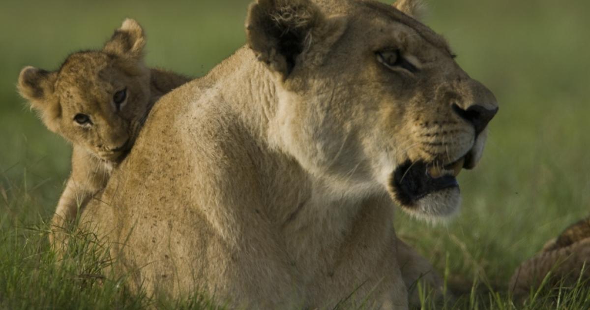 A lioness and her cub in Botswana's Okavango Delta.</p>