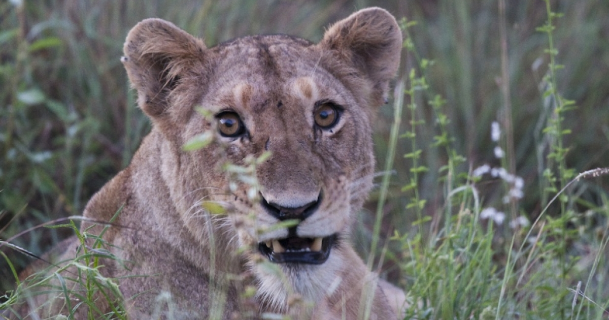 A lioness at Kruger National Park, South Africa. A longtime employee of the Johannesburg Zoo was attacked and killed by a lioness at a farm owned by the zoo, on Feb. 14, 2012. Joe Ramanata, 65, had worked for the zoo for more than 40 years.</p>
