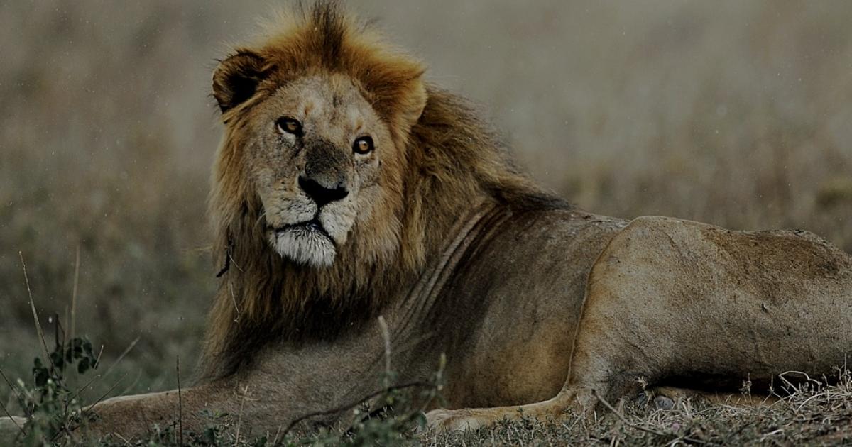 An African lion.</p>