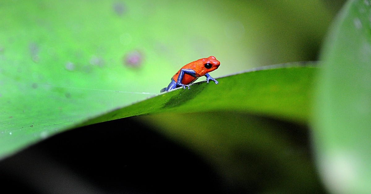 Picture of a poisonous frog (Oophaga pumilio) taken in one of the gardens of a private hotel near La Fortuna, in the Costa Rican rainforest some 110 km northwest of San Jose, on April 5, 2010.</p>
