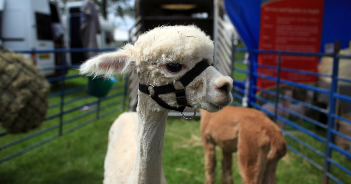 A llama looks out of its pen at the Royal Bath And West Show on May 30, 2012 in Shepton Mallet, England. The four-day show, which opens today, is one of the largest agricultural shows in the UK.</p>