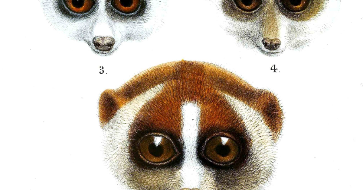 A new study has found the two-tongued, venomous loris has more species than once believed.</p>