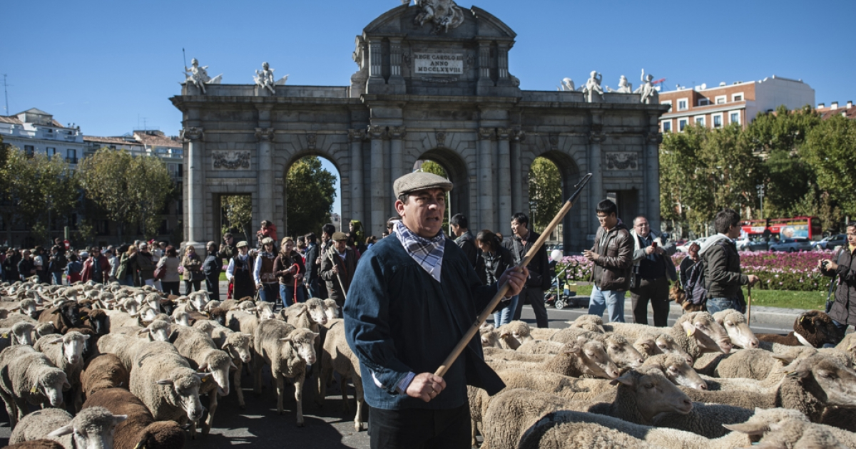 Sheep are mustered through the center of Madrid on October 28, 2012. Shepherds herded hundreds of sheep to the capital to promote the conservation of the ancient paths of migration (moving flocks from winter to summer pastures) dating back some 8,000 years. Thousand of sheep pass through the city center, joined by cows and shepherds, marking the annual livestock migration festival which has taken place in the Spanish capital since 1994.</p>