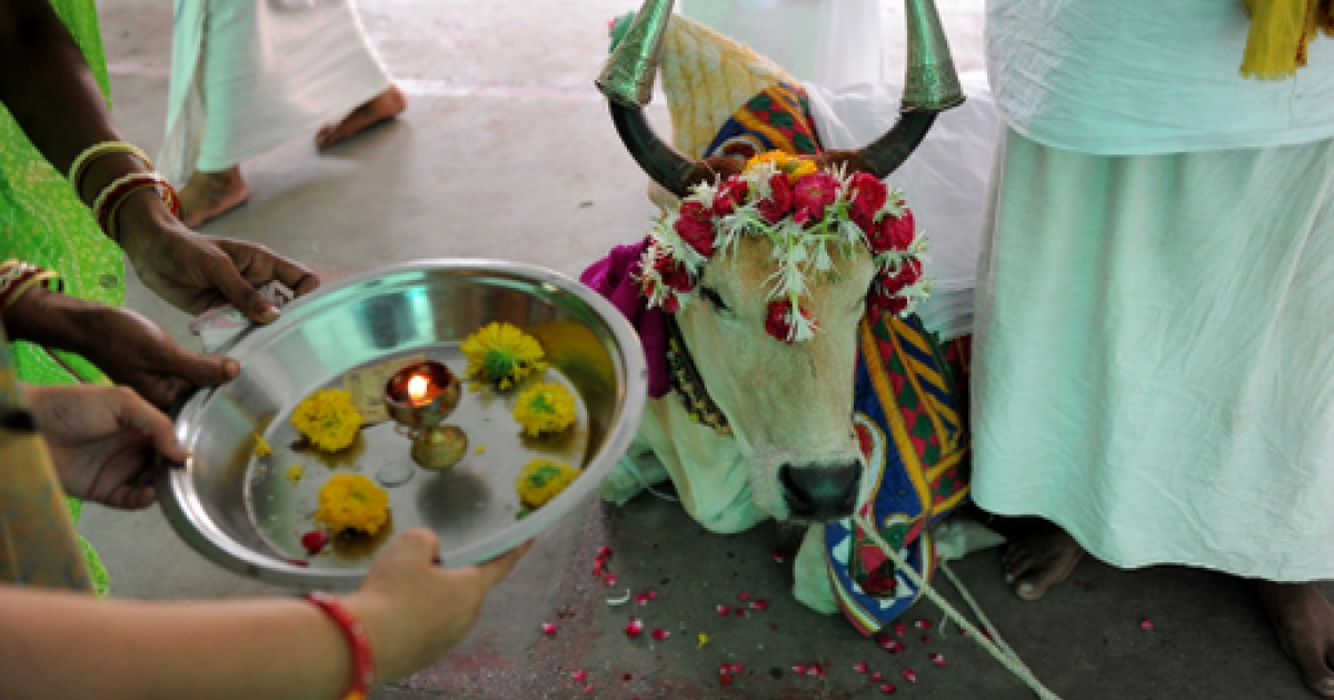Indian devotees participate in a ritual as they take blessings from a seven year old holy cow 'Ganga' at the Lord Jagannath Temple in Ahmedabad on June 29, 2011. Cow worship in India is ages-old as amongst other reasons, the cow provides milk, the urine is used in the making of Ayurvedic medicines and cowdung is used as fuel in many villages.</p>