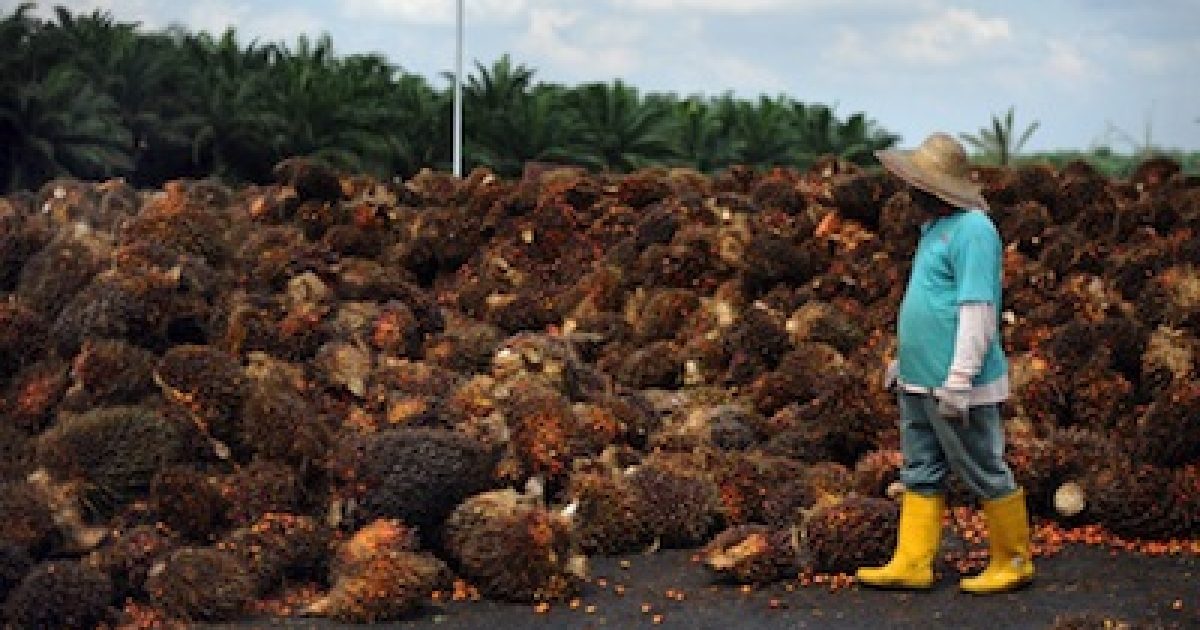 A worker sorts palm bunches before processing them at a factory on the outskirts of Kuala Lumpur, Malaysia, on November 4, 2009. Malaysia is the world's second-largest exporter of palm oil.</p>