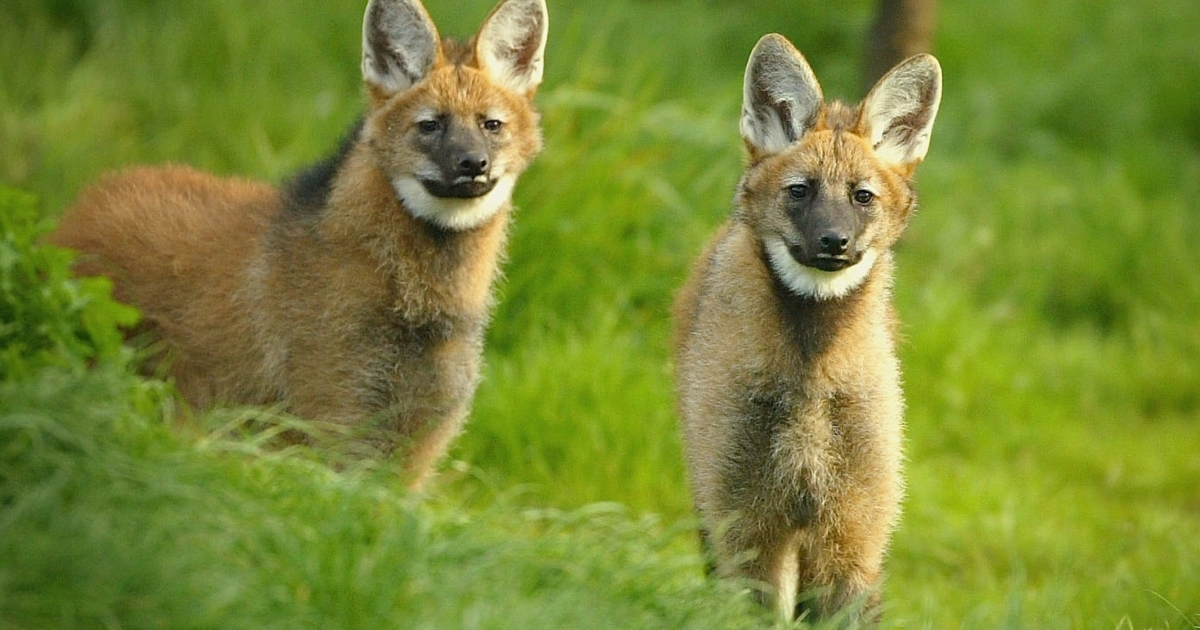 Maned wolf pups at the Edinburgh Zoo, Scotland. The Brazilian government's agricultural research agency has launched a conservation project to clone these and other species, including jaguars, collared anteaters, a variety of bison and the black lion tamarin monkey.</p>