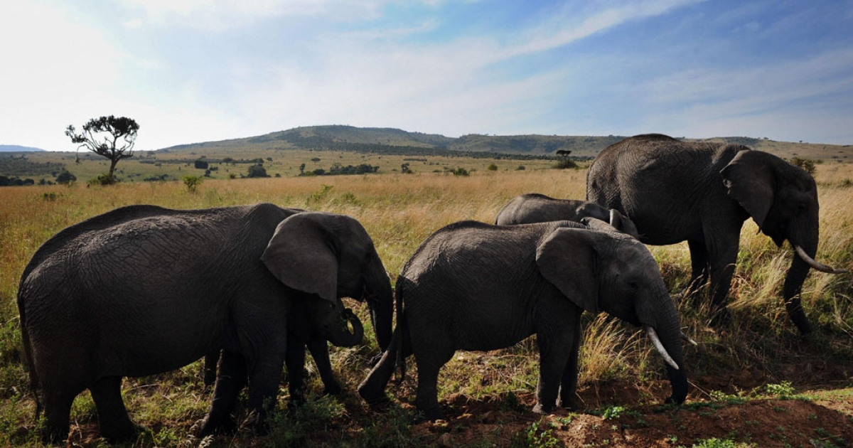 Animals galore no more? A new report says that numbers of wildlife have fallen drastically in Kenya's Masai Mara national park, largely thanks to poaching and a massive increase in cattle grazing.</p>