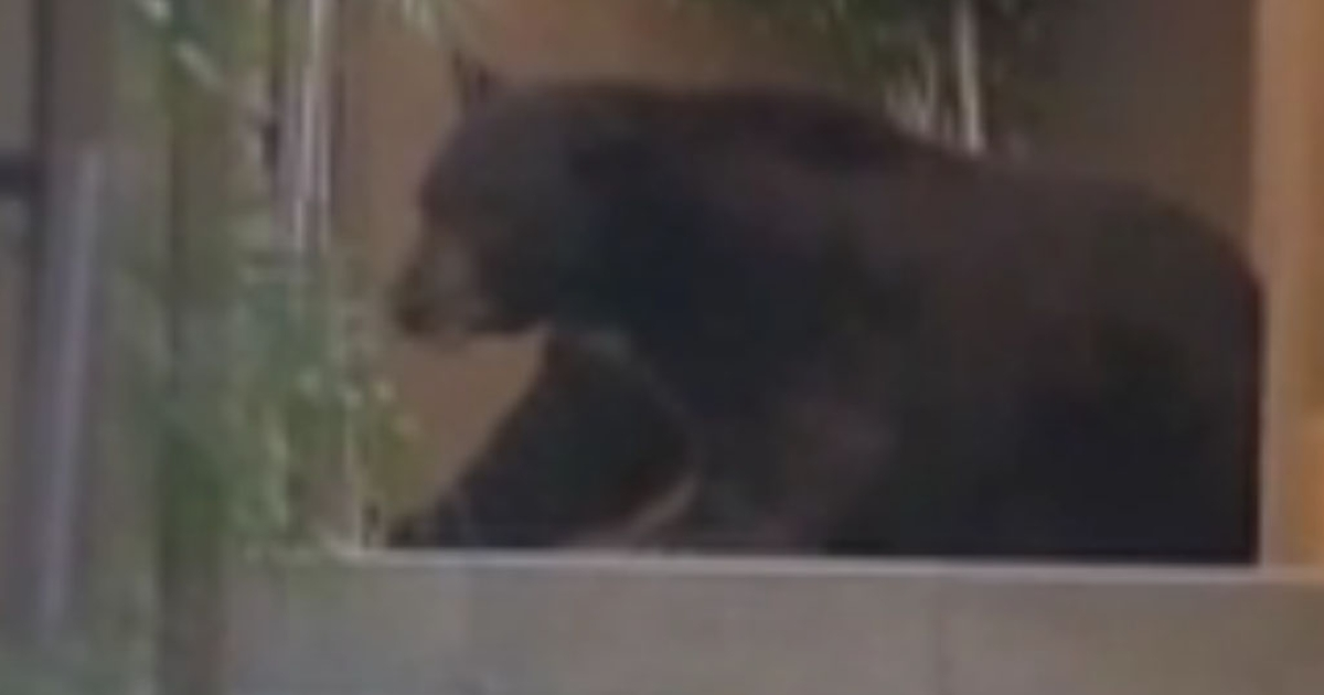 Fish and Wildlife officers tranquilized Meatball after its latest foraging trip through a California neighborhood.</p>