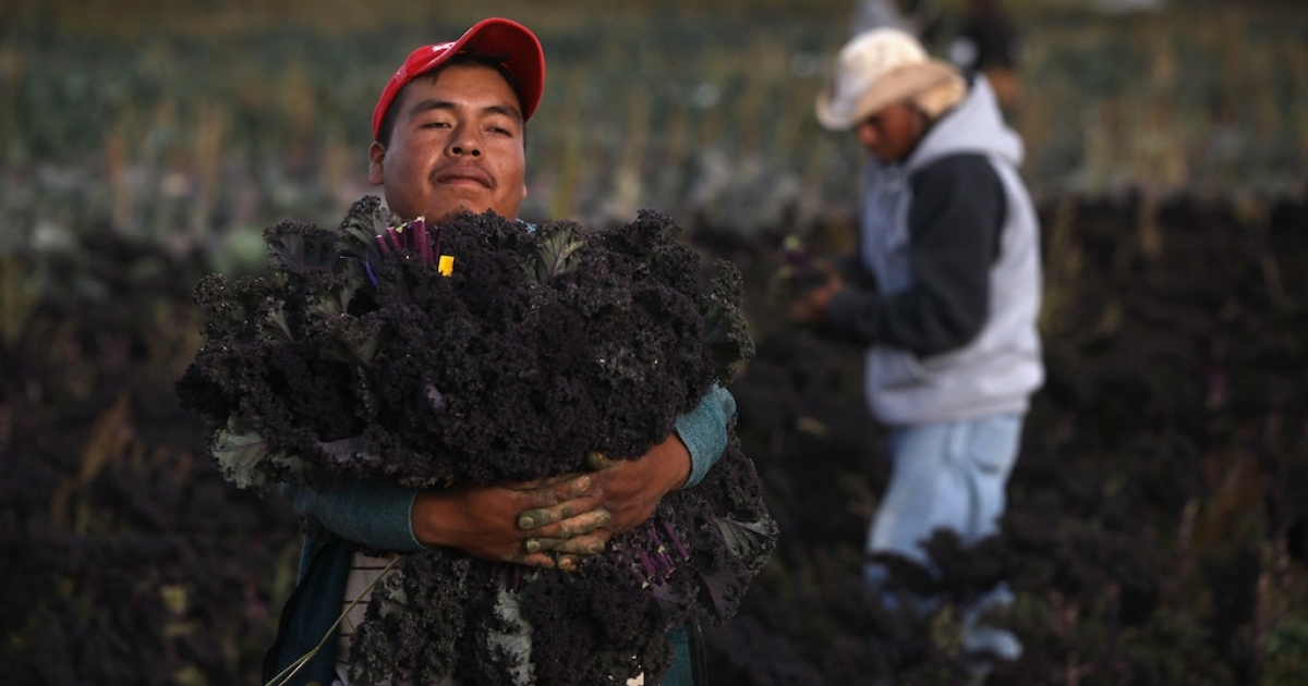 Mexican migrant workers harvest organic kale at Grant Family Farms on October 11, 2011 in Wellington, Colorado.</p>