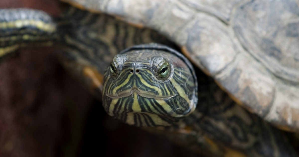 An elegant gigotea (Trachemys scripta elegans), or red-eared turtle, in a pound at the Museum of Archaeology in Mexico City. Mexico has a wealth of wildlife that needs protecting, but environmentalists claim the country's Green Party is not cut out for the job.</p>