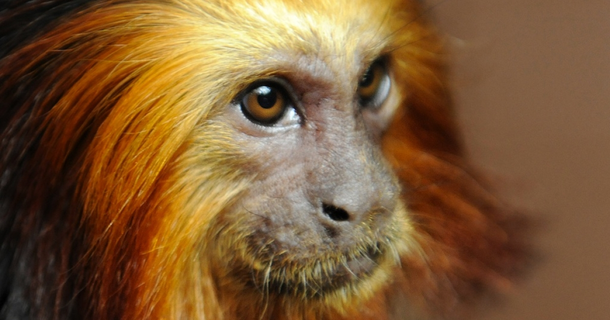 A golden headed lion tamarin monkey, native to the Amazon rainforest.</p>