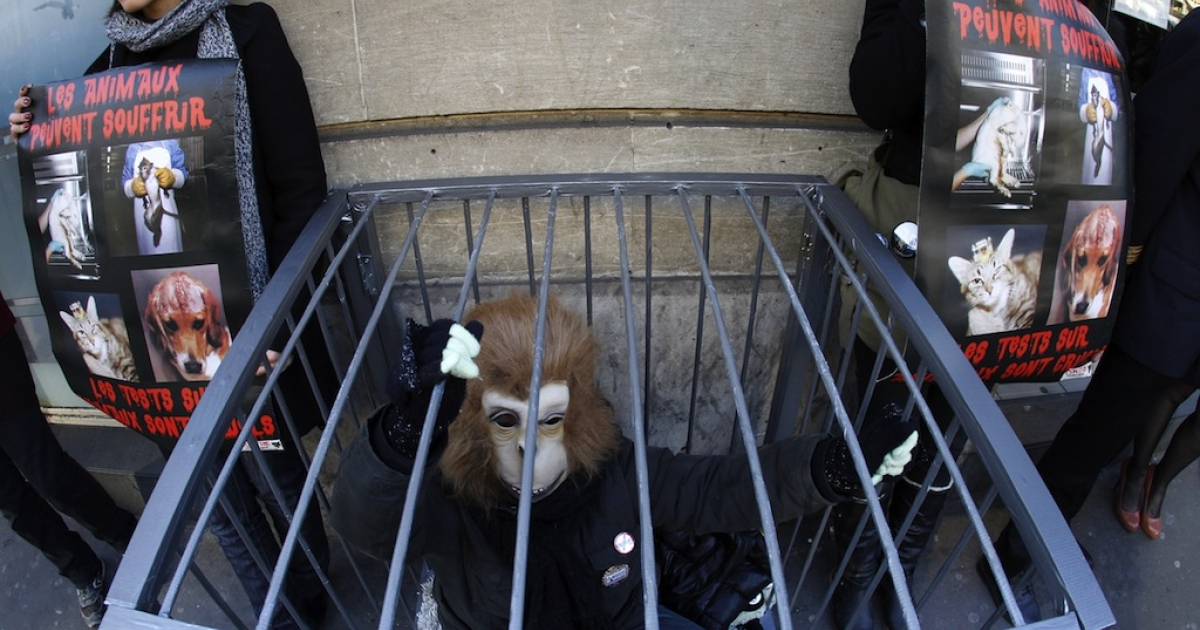 An activist protesting against vivisection, dressed up as a monkey, demonstrates in a cage in front of an Air France KLM agency near the Opera Garnier to ask the airplane company to stop the transportation of laboratory animals used for experimentations, on February 4, 2012 in Paris.</p>