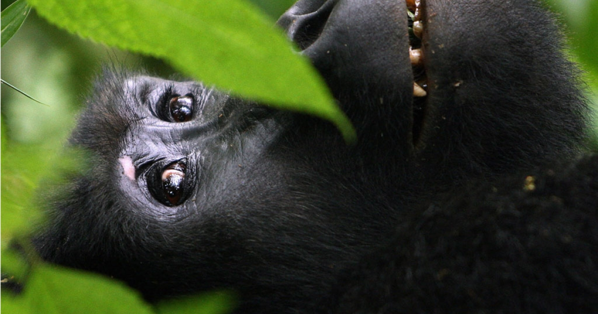 A female mountain gorilla sits in the dense jungle canopy on the edge of Uganda's Bwindi National Park on January 29, 2007. Bwindi, or the