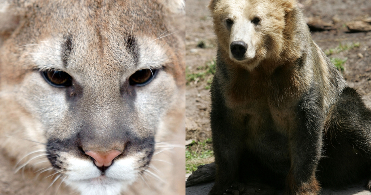 At left, a North American mountain lion walks at the Cincinnati Zoo in January, 2004. At right, a grizzly bear sits in an exhibit at the San Francisco Zoo in May, 2007.</p>