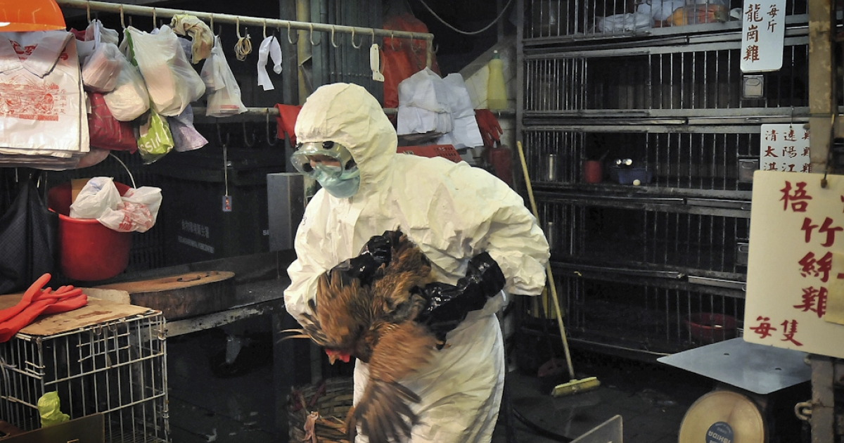 Staff wearing protective clothing cull chickens in a Sham Shui Po market after the deadly H5N1 bird flu virus was found in samples collected from the market's poultry stalls in Hong Kong, on June 7, 2008. The United Nations warned on August 29, 2011 that avian flu shows signs of a resurgence, and a mutant strain could be spreading in China and Vietnam.</p>