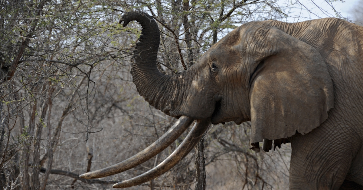An elephant uses its trunk to reach the upper branches of a tree over the dry brush as it searches for food at the Tsavo West National Park in southern Kenya on August 21, 2009. Poaching for elephant and rhino tusks has been on the rise in Africa since the 2007 partial lifting of an international trade ban to allow a one-off sale to China and Japan by Botswana, Namibia, South Africa and Zimbabwe, the Kenya Wildlife Service said.</p>