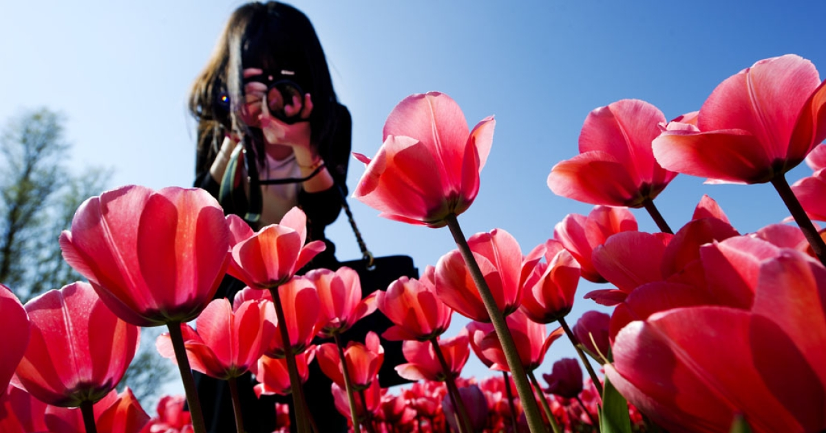 A tourist takes a photo of the colorful tulip fields in Lisse, the Netherlands, on April 19, 2011.</p>