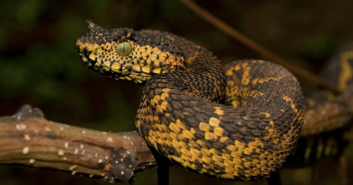 A new snake species was discovered in southwest Tanzania. The snake is called Matilda's Horned Viper (Atheris matildae) after the 7-year-old daughter of  Tim Davenport, director of the Wildlife Conservation Society in Tanzania one of the three people who discovered the viper.</p>