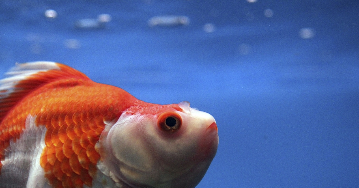 A new study finds that goldfish listen to music, and are able to distinguish between Bach and Stravinsky.</p>