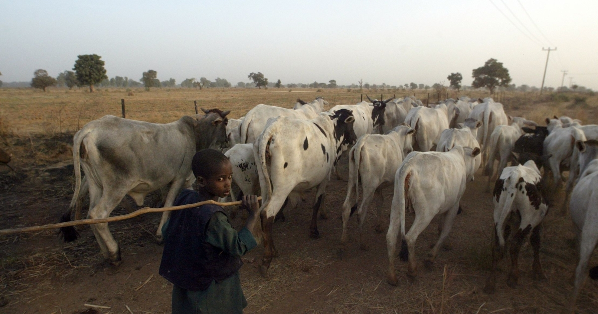 A young herdsman leads cattle to a farm in northern Nigeria's Kano state.</p>