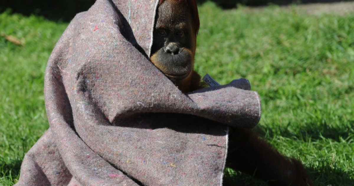This is not Shirley the smoking orangutan. . . An orangutan protects himself from the cold with a blanket provided by vets at Rio de Janeiro's zoo on July 11, 2011</p>