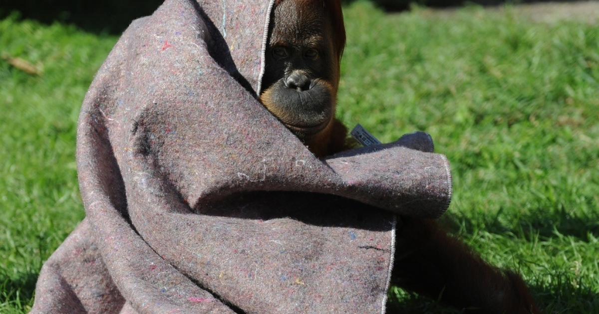 An orangutan protects himself from the cold with a blanket provided by vets at Rio de Janeiro's zoo, on July 11, 2011.</p>