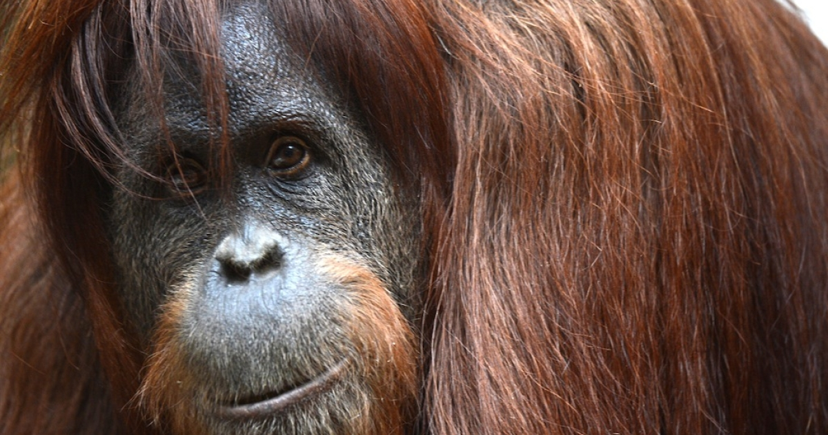 Orangutans like this one are critically endangered, but drones are helping conservationists keep an eye on the giant apes and other animals.</p>