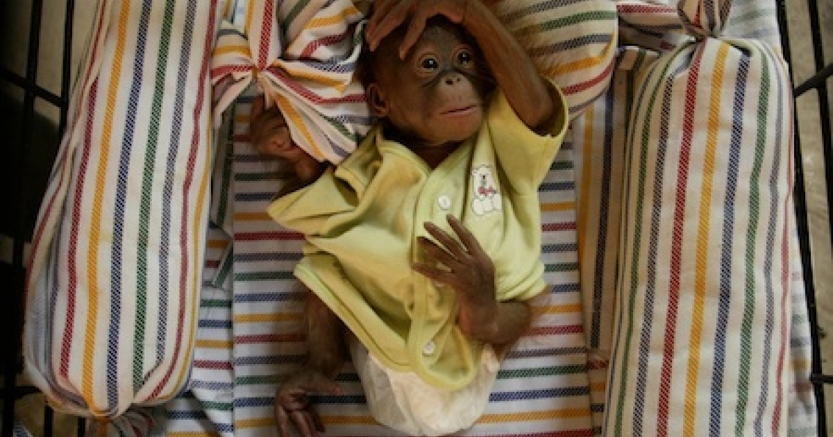 Two-week-old female orangutan 'Damai', meaning peace, is cared for at the Surabaya Zoo nursery on October 28, 2011 in Indonesia.</p>