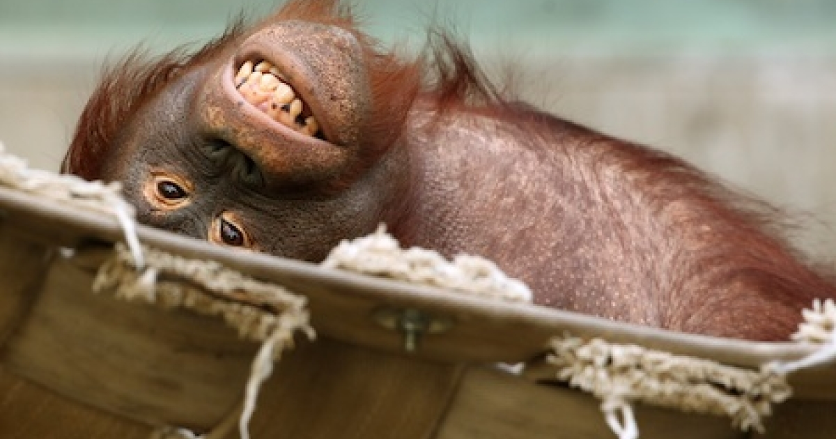An orangutan relaxing on January 24, 2012 at a zoo in Krefeld, Germany.</p>