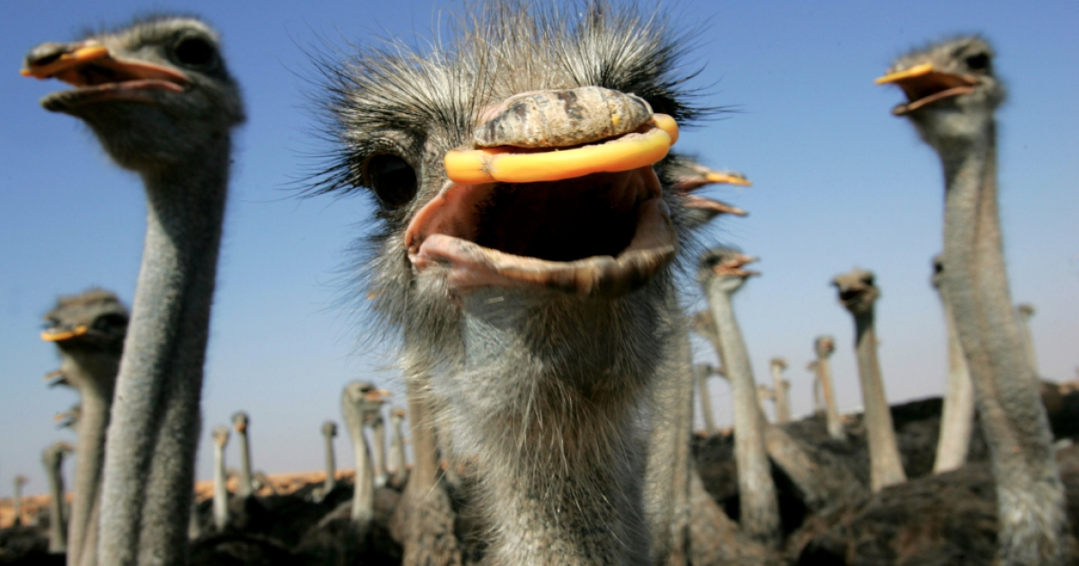 Ostriches wearing plastic guards over their beaks to prevent pecking and damaging their valuable skin, are seen at a farm in southern Israel in 2005. The farm, where some 10,000 birds are bred annually and slaughtered at the age of one year for their skin, feathers and meat, is the only one of its kind in Israel that exports almost all of its production to Europe, and is threatened with the loss of its international markets if the H5N1 Avian Flu virus strikes Israel.</p>