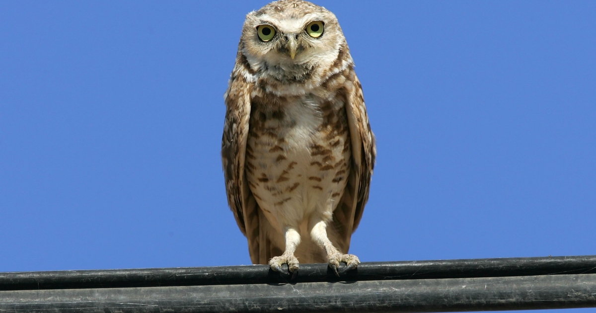 A burrowing owl on June 22, 2006 near Calipatria, California.</p>