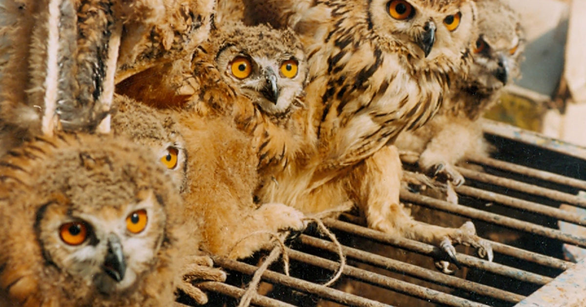 Owls seized from a village in Uttar Pradesh. Strict enforcement of wildlife laws, increasing awareness among buyers that the trade is illegal, and some high-profile convictions are needed to curb the trafficking in threatened birds.</p>