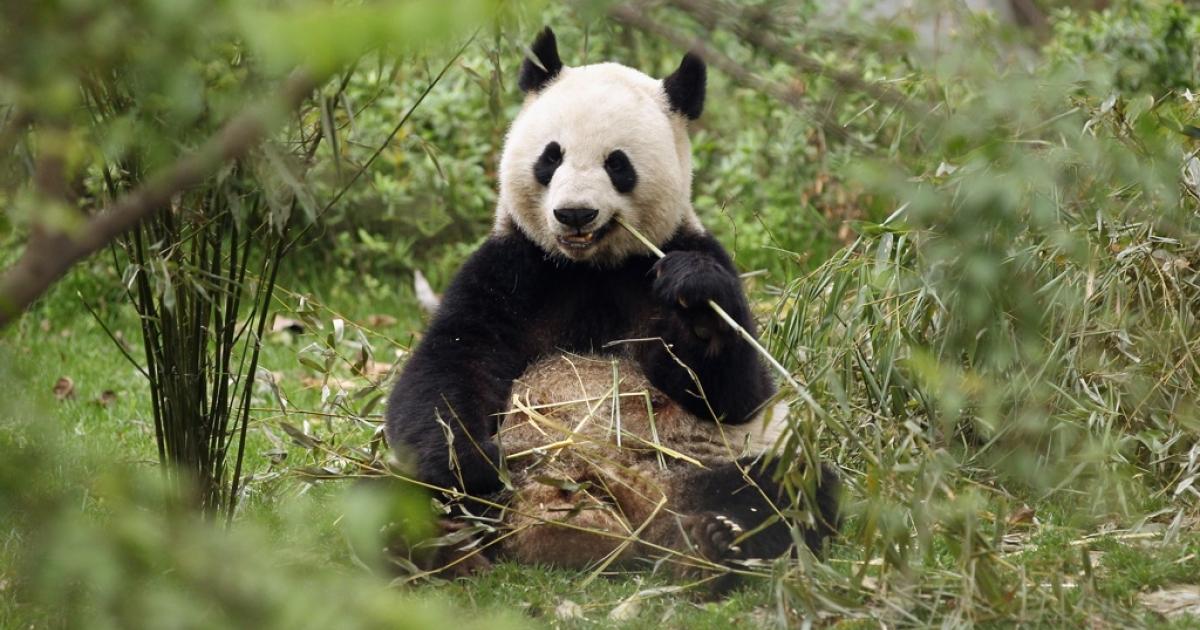Pandas are an endangered species.</p>