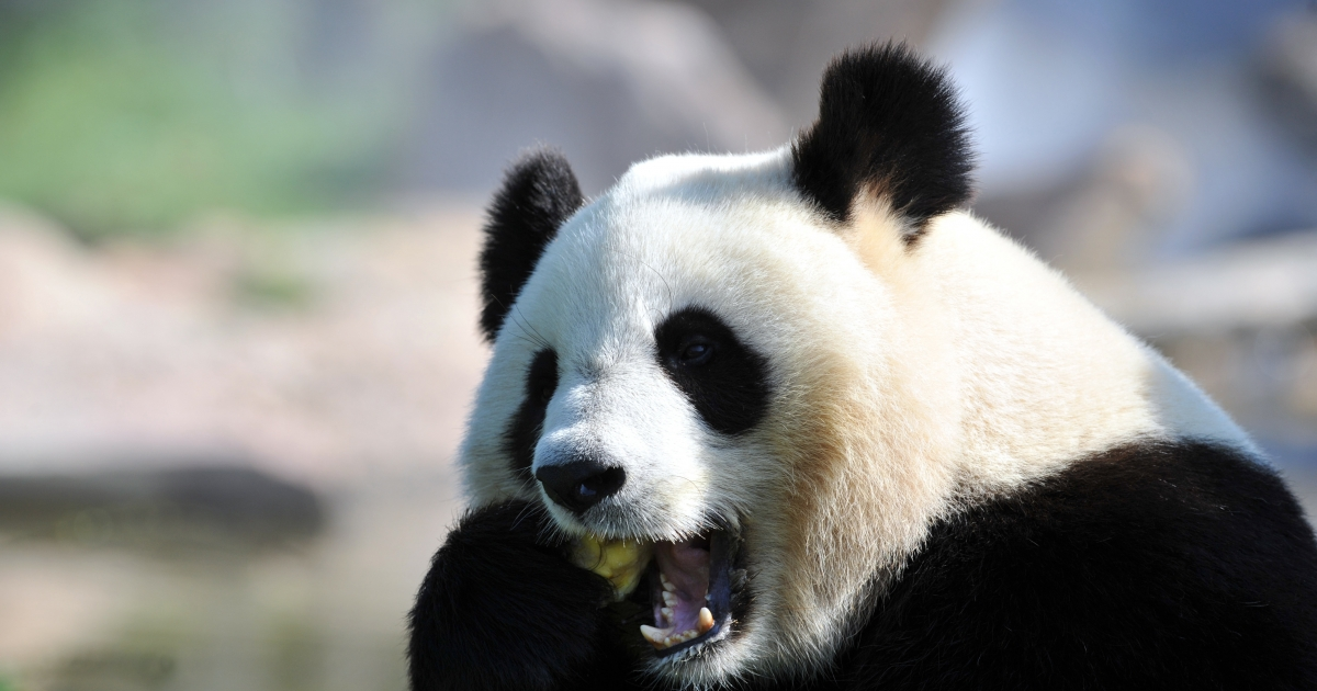 Yuan Zi, one of two giant pandas that arrived last winter in France from China, eats an ice, in August at Beauval zoo in Saint-Aignan, central France.</p>