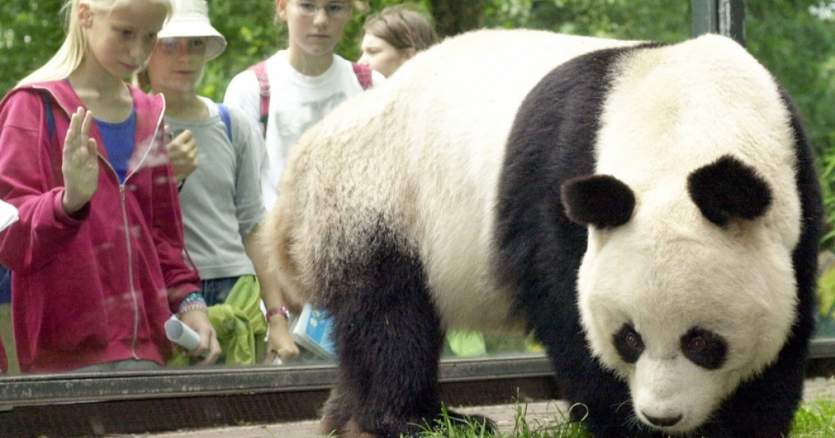 Bao Bao, who was given to West Germany by China in 1980, was one of the world's oldest giant pandas.</p>